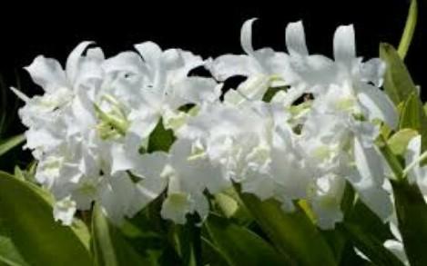 Cattleyia